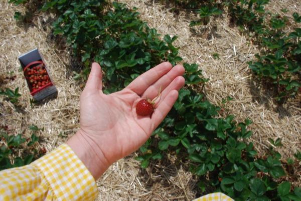Strawberry -  - 1