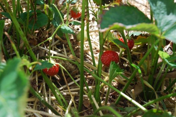 Strawberry -  - 3