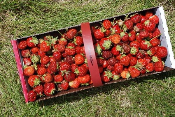 Strawberry -  - 6