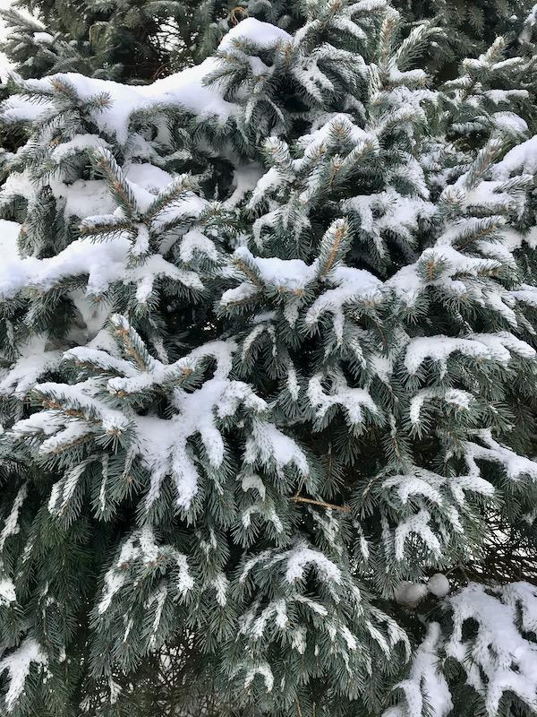 Conifers  - 1