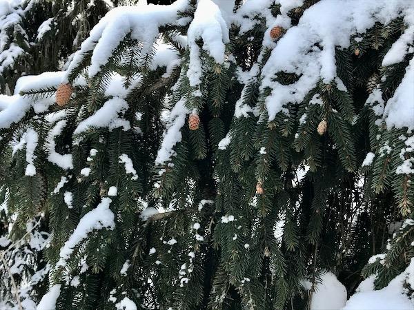 Conifers  - 4